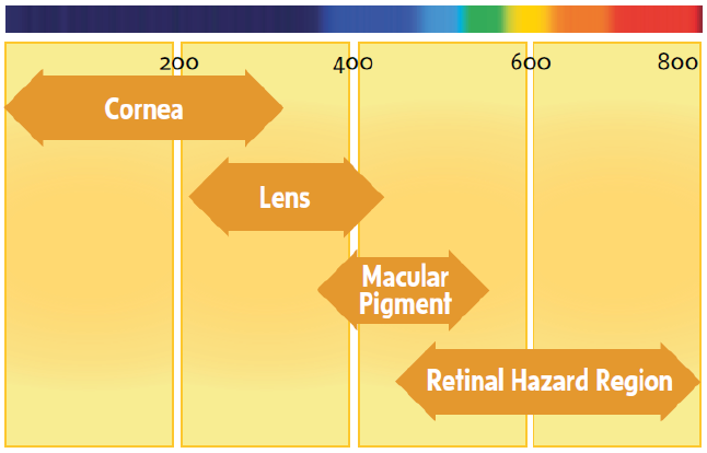 Absorption of light radiations by different ocular structures