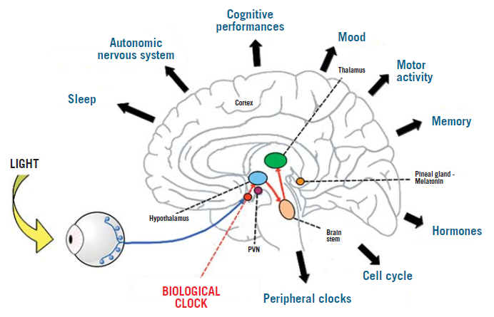 Diagram of the biological functions controlled by the circadian biological clock