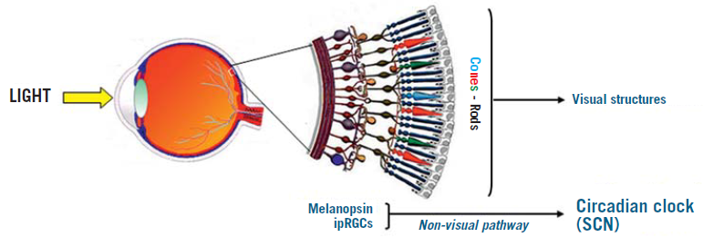 Diagram of the eye (section) with an enlarged representation of the retina (in the centre)
